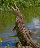 The Cuban crocodile jumps out of the water. Stock Photos