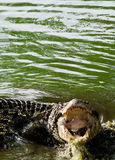 Cuban crocodile with open Mouth. Cuban crocodile (Crocodylus rhombifer) with open Mouth in the water Royalty Free Stock Images