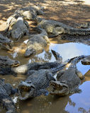 Cuban Crocodiles (crocodylus rhombifer) Royalty Free Stock Photography