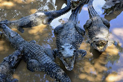 Cuban Crocodiles (crocodylus rhombifer) Royalty Free Stock Images