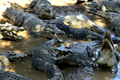 Cuban Crocodiles (crocodylus rhombifer) Royalty Free Stock Image