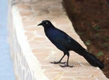 Cuban Crow. (Corvus nasicus Stock Photo