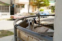 Cuban Dalmation. Dog on a balcony in Havana stock photography
