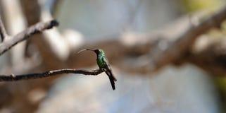 The Cuban Emerald (Chlorostilbon ricordii) Royalty Free Stock Images
