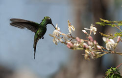 The Cuban Emerald (Chlorostilbon ricordii) Stock Photos