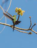 Cuban Emerald feeding on flower Stock Images