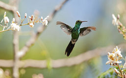 The Cuban Emerald in flight Stock Photos