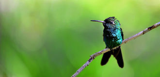 Cuban Emerald Hummingbird (Chlorostilbon ricordii) Stock Photography