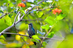 Cuban Emerald Hummingbird (Chlorostilbon ricordii) Stock Photos