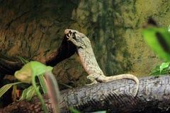 Cuban false chameleon Royalty Free Stock Photography
