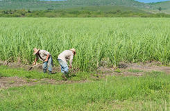 Cuban farmers and harvesters on the cane field during harvesting - Serie Cuba Reportage Royalty Free Stock Images