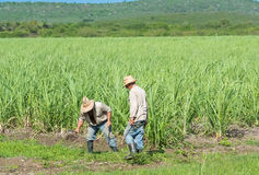 Cuban Field Farmer On The Sugarcane During Harvest In Santa Clara Cuba