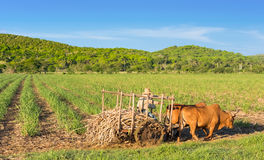 Cuban field farmer on the sugarcane field on his ox wagon in Cienfuegos Cuba - Serie Cuba Report Royalty Free Stock Photos