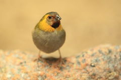 Cuban finch Stock Photos