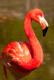 Cuban Flamingo Stock Images