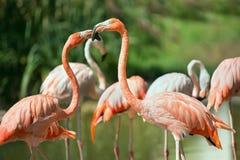 Cuban Flamingo Royalty Free Stock Photography