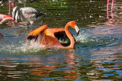 Cuban flamingo bathes Stock Photo