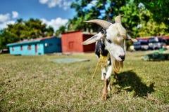 Cuban goat. A cute little goat in Cuba Stock Photo