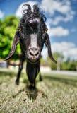 Cuban goat. A cute little goat in Cuba Stock Image