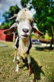 Cuban goat. A cute little goat in Cuba Stock Images