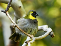 Cuban grassquit (Tiaris canorus) Royalty Free Stock Photography