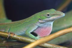 Cuban green anole. On the branch stock photos