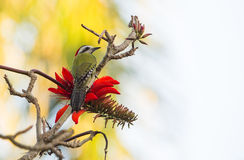 Cuban Green Woodpecker with red flowers Royalty Free Stock Image