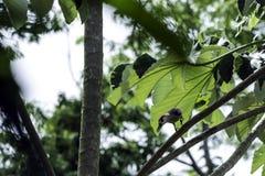 The Cuban green woodpecker Xiphidiopicus percussus endemic to Cuba - Peninsula de Zapata National Park, Cuba. The Cuban green woodpecker Xiphidiopicus percussus royalty free stock photos
