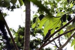 Cuban green woodpecker endemic to Cuba - Peninsula de Zapata National Park, Cuba. Cuban green woodpecker / Xiphidiopicus percussus / endemic to Cuba - Peninsula royalty free stock photography