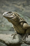 Cuban Ground Iguana Stock Photos