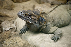Cuban Ground Iguana Stock Image
