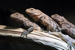 Cuban ground iguana Royalty Free Stock Image