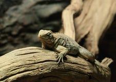 Cuban ground iguana Royalty Free Stock Image