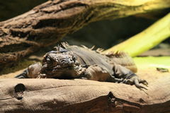 Cuban ground iguana Stock Photos