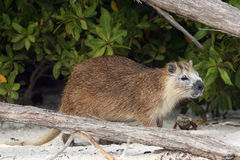 Cuban hutia. Desmarest`s hutia Capromys pilorides, also known as the Cuban hutia in bushes Stock Images