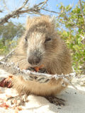 A Cuban hutia eating fruit in Jardin de la Reina Royalty Free Stock Photography