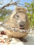 A Cuban hutia eating fruit in Jardin de la Reina Royalty Free Stock Images