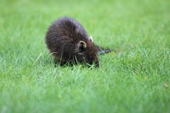 Cuban hutia. The juvenile of cuban hutia in the grass Stock Images