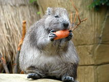 Cuban Hutia (Rodent) 2 Royalty Free Stock Images