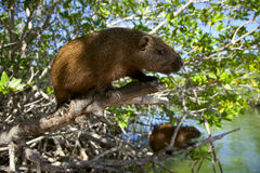 Cuban hutia sitting in a mangrove trees Royalty Free Stock Photos