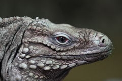 Cuban iguana Royalty Free Stock Image