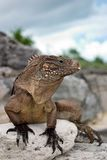 Cuban Iguana stock images