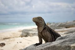 Cuban Iguana Stock Photo