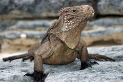Cuban Iguana Royalty Free Stock Photos