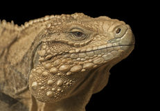 Cuban iguana Stock Photography