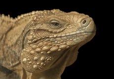 Cuban iguana. It is impressive portrait of the Cuban iguana Stock Photography