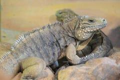 Cuban iguana Royalty Free Stock Photo