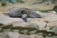 Cuban iguana Stock Photo