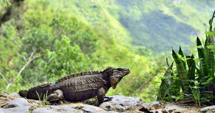 Cuban Iguana in the forest. Stock Images