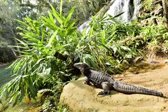 Cuban Iguana in the forest. Stock Photos